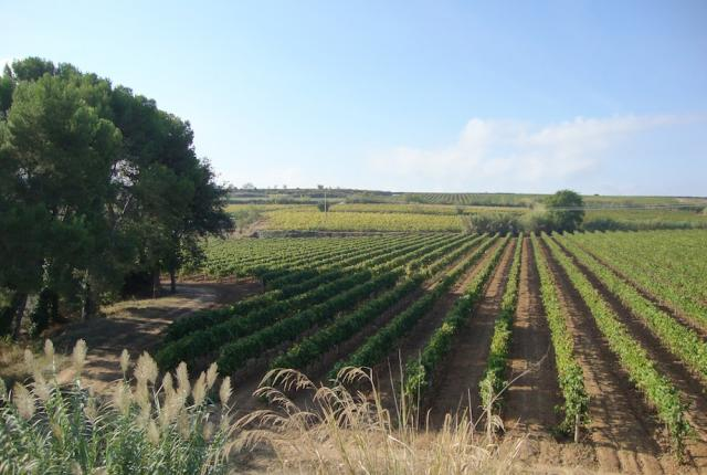 Avinyó Cavas vineyards