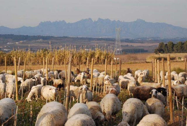Can Suriol del Castell de Grabuac vineyards with sheep and Montserrat mountain in the background